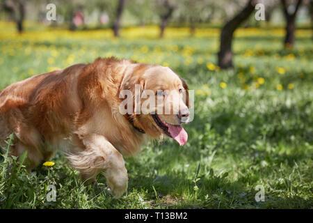 beautiful pet dog lying on the green grass - Stock Photo