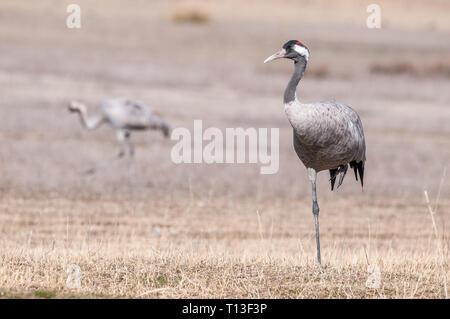 common crane, Gallocanta Lagoon, Aragon Spain