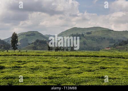 Rwanda, view to tea plantation with Virunga mountains in the background - Stock Photo