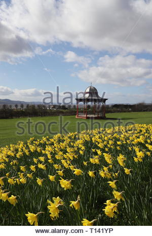 Dundee, UK. 23rd March 2019. A glorious display of yellow daffodils compliments the red bandstand on Magdalen Green on a sunny spring day in Dundee.  © Stephen Finn/Alamy Live News - Stock Photo