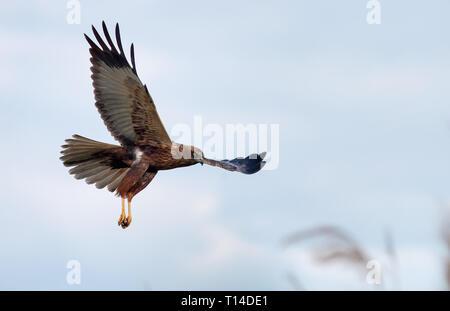 Western Marsh harrier in slow flight over reed - Stock Photo