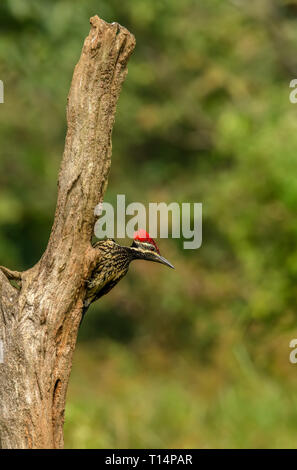 Black-rumped flameback or lesser golden-backed woodpecker climbing on tree to get an insect - Stock Photo