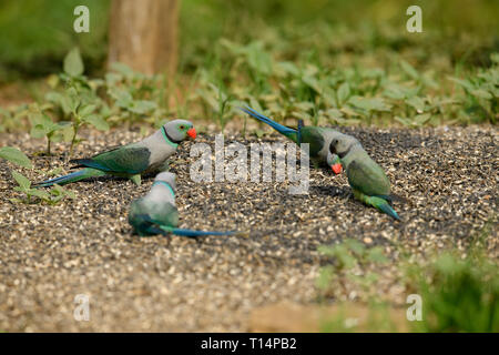 The blue-winged parakeet, also known as the Malabar parakeet is a species of parakeet endemic to the Western Ghats of southern India. - Stock Photo