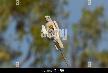 Little Corella, Cacatua sanguinea, perched in a tree feeding on a small melon while perched on a branch in outback Western Queensland Australia - Stock Photo