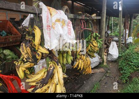 Bunches of Yellow and Green Bananas hanging on Hooks in the Backyard of a Roadside Restaurant - Stock Photo