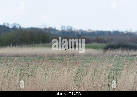 Female hunting Marsh Harrier (Circus aeruginosus) over a reed bed - Stock Photo