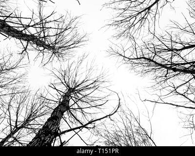View through leafless trees looking up. UK - Stock Photo