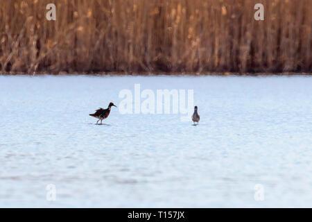 Ruff water bird (Philomachus pugnax) Ruff in water - Stock Photo