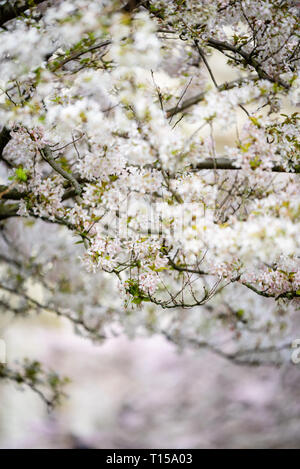 Cherry Blossoms bloom in London - Stock Photo