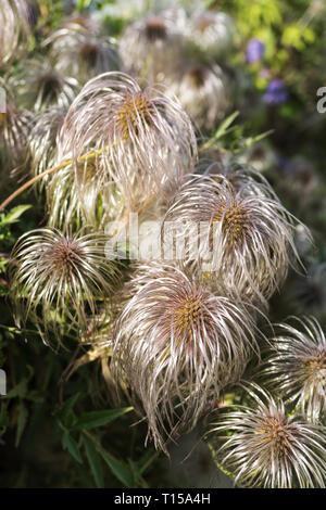Clematis vitalba (Old man's beard, Traveller's Joy). Shrub of the Ranunculaceae family. Selective focus. Vertical image - Stock Photo