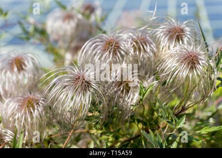 Clematis vitalba (Old man's beard, Traveller's Joy). Shrub of the Ranunculaceae family. Selective focus. Horizontal image - Stock Photo