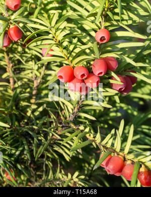 Taxus baccata (European yew) shoot with mature cones - Stock Photo