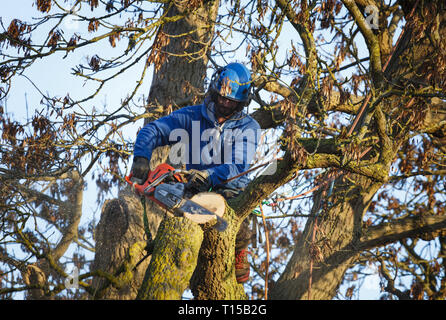 Buckingham, UK - January 30, 2019. A tree surgeon uses a chainsaw to cut a branch from an oak tree. - Stock Photo
