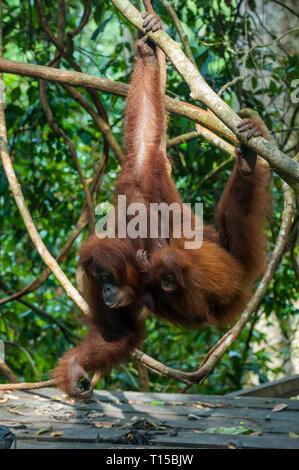 Indonesia, Sumatra, Bukit Lawang Orang Utan Rehabilitation station, feeding time for the Sumatran orangutan - Stock Photo