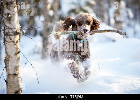 Standard poodle running and enjoying the snow on a beautiful winter day. Playful dog in action with a toy on a snowy field in Finland. Active lifestyl - Stock Photo