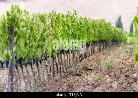 Tuscany, Italy with brown farm landscape winery vineyard grape vine rows in idyllic picturesque Val D'Orcia countryside
