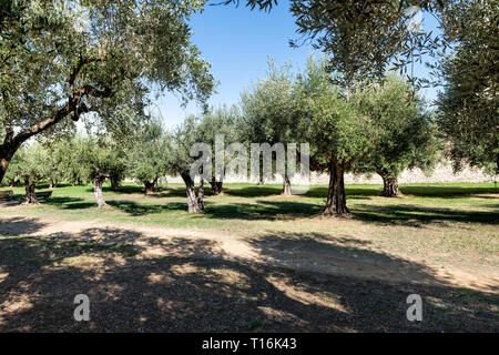 Castiglione del Lago medieval fortress fort in Umbria, Italy Rocca with Medievale o Rocca del Leone and row of olive trees in sunny summer day - Stock Photo