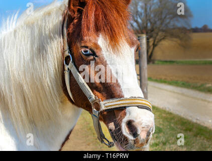 pretty blue eyed horse, riding in nature - Stock Photo