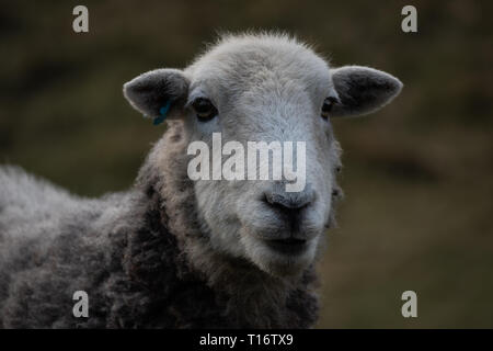 white sheep close up - Stock Photo