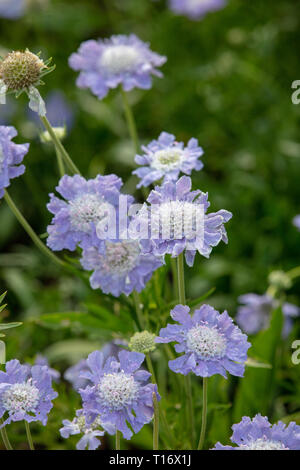 Scabiosa caucasia or pincushion flower plants can be grown in small and large gardens, producing blue flowers from late summer to autumn - Stock Photo
