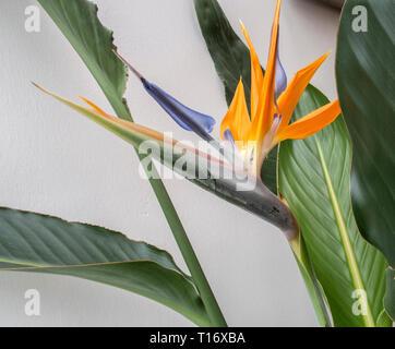 Strelitzia indoor plant in flower - bird of paradise flower. - Stock Photo