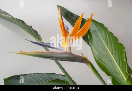 Strelitzia indoor plant in flower - bird of paradise flower. - Stock Photo