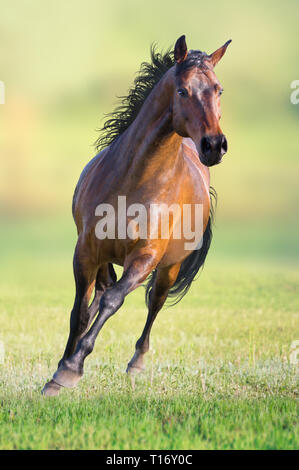 Bay horse runs on the green grass on green background - Stock Photo