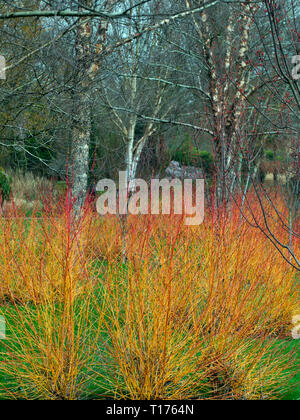 Dog wood and Hymalayan birch Garden colour in Winter at Bressingham gardens Norfolk - Stock Photo