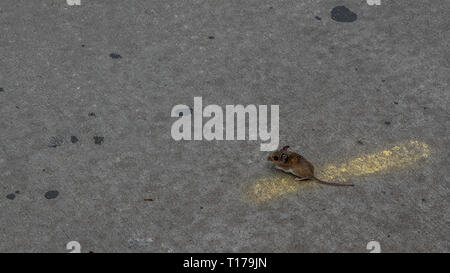 Field mouse standing on road on top of yellow line - Stock Photo