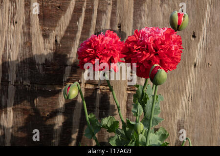 Papaver orientale Double Red are summer flowering perennials for growing in the gardens in between other herbaceous plants or evergreen garden shrubs - Stock Photo