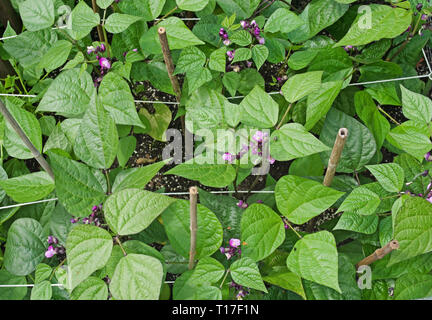 Overhead view of Dwarf French Beans Purple Queen in flower growing in vegetable garden supported by string and bamboo canes, summer, England, UK - Stock Photo