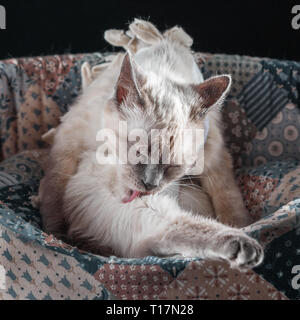 Thai cat after surgery in a postoperative bandage. - Stock Photo