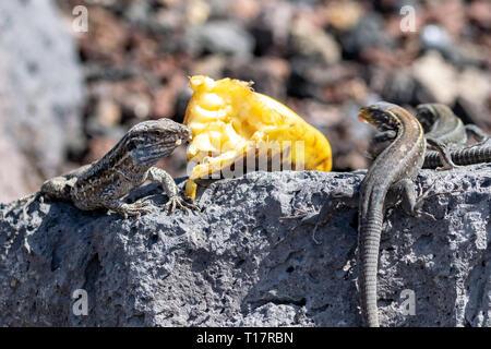 La Palma wall lizard (Gallotia galloti palmae) eats a piece of banana - Stock Photo