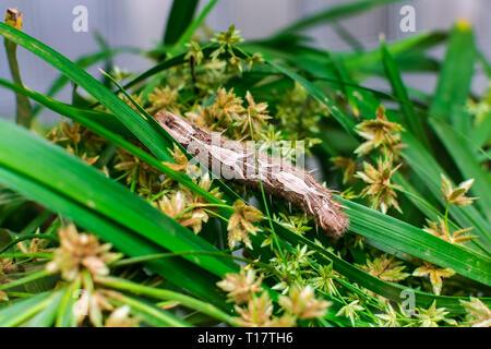 Morpho peleides caterpillar, on green leaves - Stock Photo