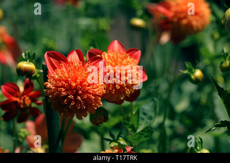 Flowering dahlia in spring and at Easter - Stock Photo