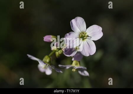 Close up of flowers of Cardamine pratensis - Stock Photo