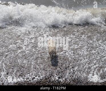 Sidmouth, UK. 24th Mar, 2019. A golden retriever enjoys the beach at Sidmouth. Credit: Photo Central/Alamy Live News - Stock Photo