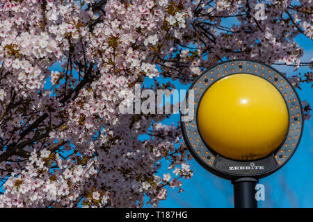 London, UK. 24th Mar 2019. Spring blossom and a blue sky at a Zebra crossing in SW London. Credit: Guy Bell/Alamy Live News - Stock Photo