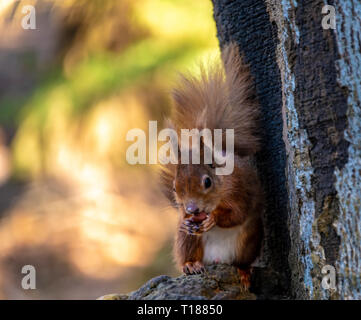 Poole, Dorset. 24th March 2019. Keen photographers try to capture pictures of young red squirrels on Brownsea Island in Poole. One of the few places native Red Squirrels can be found in the wild. Credit: Thomas Faull/Alamy Live News - Stock Photo