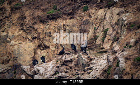 Bray Head, Ireland. 24th March, 2019 Colony of cormorants enjoying warm and wind free weather on the south side cliffs of Bray Head. Credit: Vitaliy Tuzov/Alamy Live News - Stock Photo