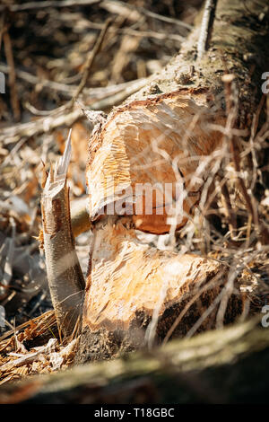 Birch Tree Gnawed By Beavers In Spring Season On River Coast - Stock Photo