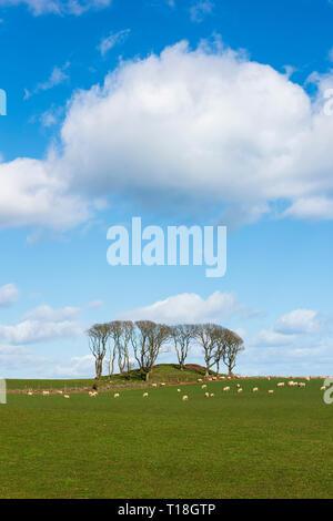 Copse of trees on mound known as Uras Knaps, south of Stonehaven, Aberdeenshire,  Scotland. - Stock Photo