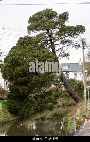 A Monterey Pine tree almost collapsed across the river Sid, at Sidmouth, Devon, UK - Stock Photo