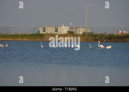 Pink flamingo use Cyprus as one of the important migratory passages. Among them are 12,000 flamingos (Phoenicopterus ruber) feeding on brine shrimp. - Stock Photo
