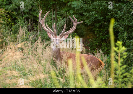 Red deer stag with big antlers in velvet in young forest - Stock Photo