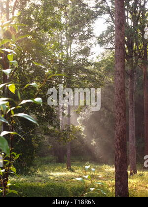 Misty morning light shining through native trees in an Australian paddock. Soft rays of light through the tall trees. - Stock Photo