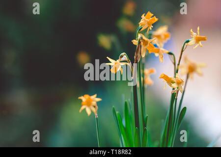 Beautiful Yellow daffodil flowers in pot on the windowsill - Stock Photo