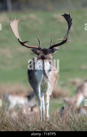 A rear view of a male fallow deer in a grassy field. Other fallow deer can be seen out of focus in the background. - Stock Photo