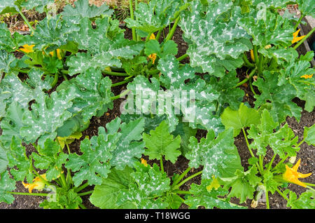 Young courgette plants variety F1 Defender coming into flower with first small courgettes growing in English vegetable garden, summer UK - Stock Photo