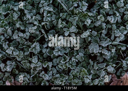 Close up of frost covers clover leaves in the early morning - Stock Photo